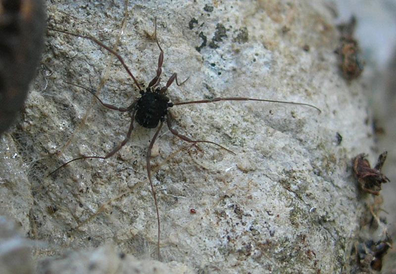 Opilione scuro trentino: Histricostoma dentipalpe
