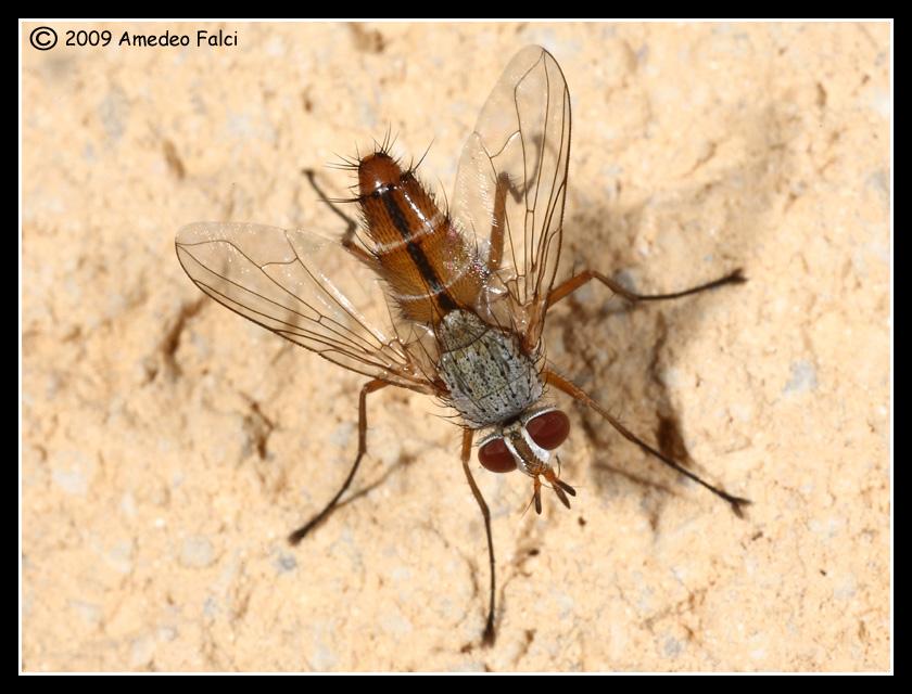 Fischeria bicolor (Tachinidae)
