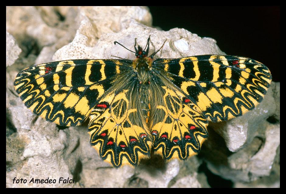 Zerynthia polyxena