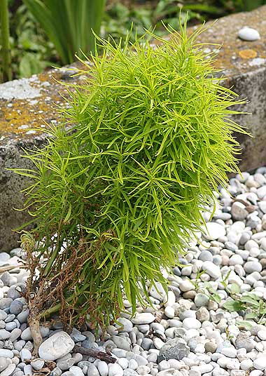 la pianta delle scope bassia scoparia kochia scoparia