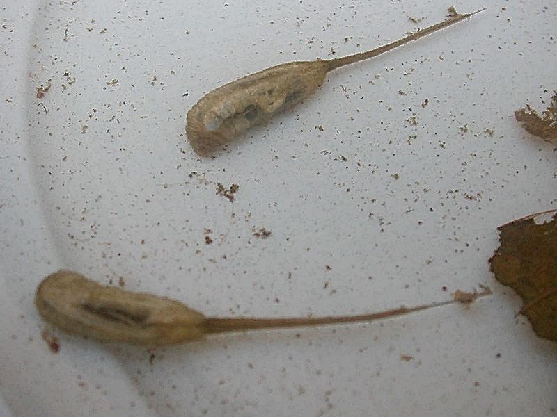 Larve acquatiche forum natura mediterraneo forum for Divora larve di zanzara