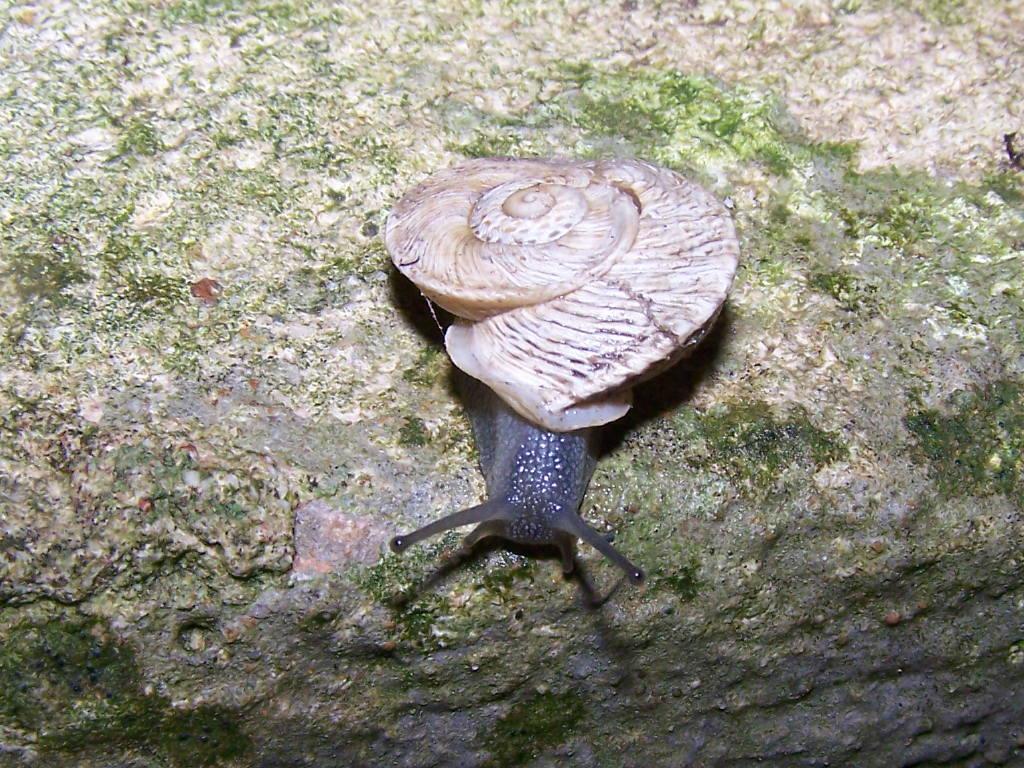 Marmorana scabriuscula