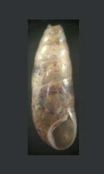 tabella Famiglia Cochlicopidae