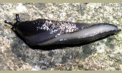Tabella genere Limax