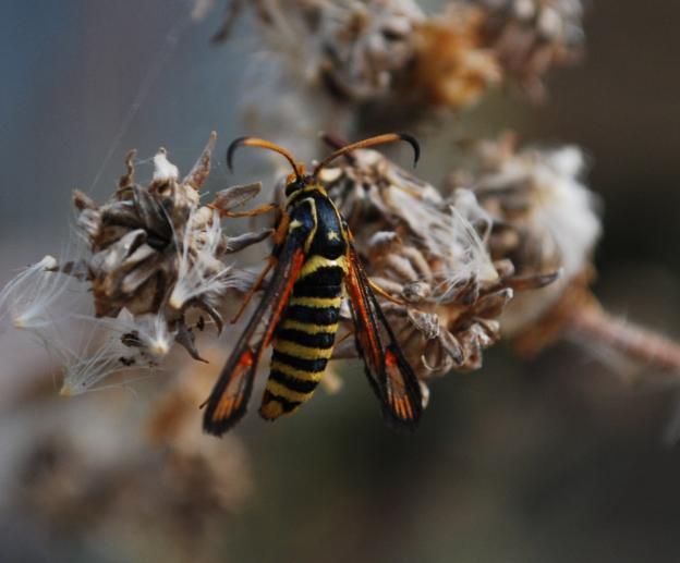 Bembecia cfr. ichneumoniformis (Sesiidae)