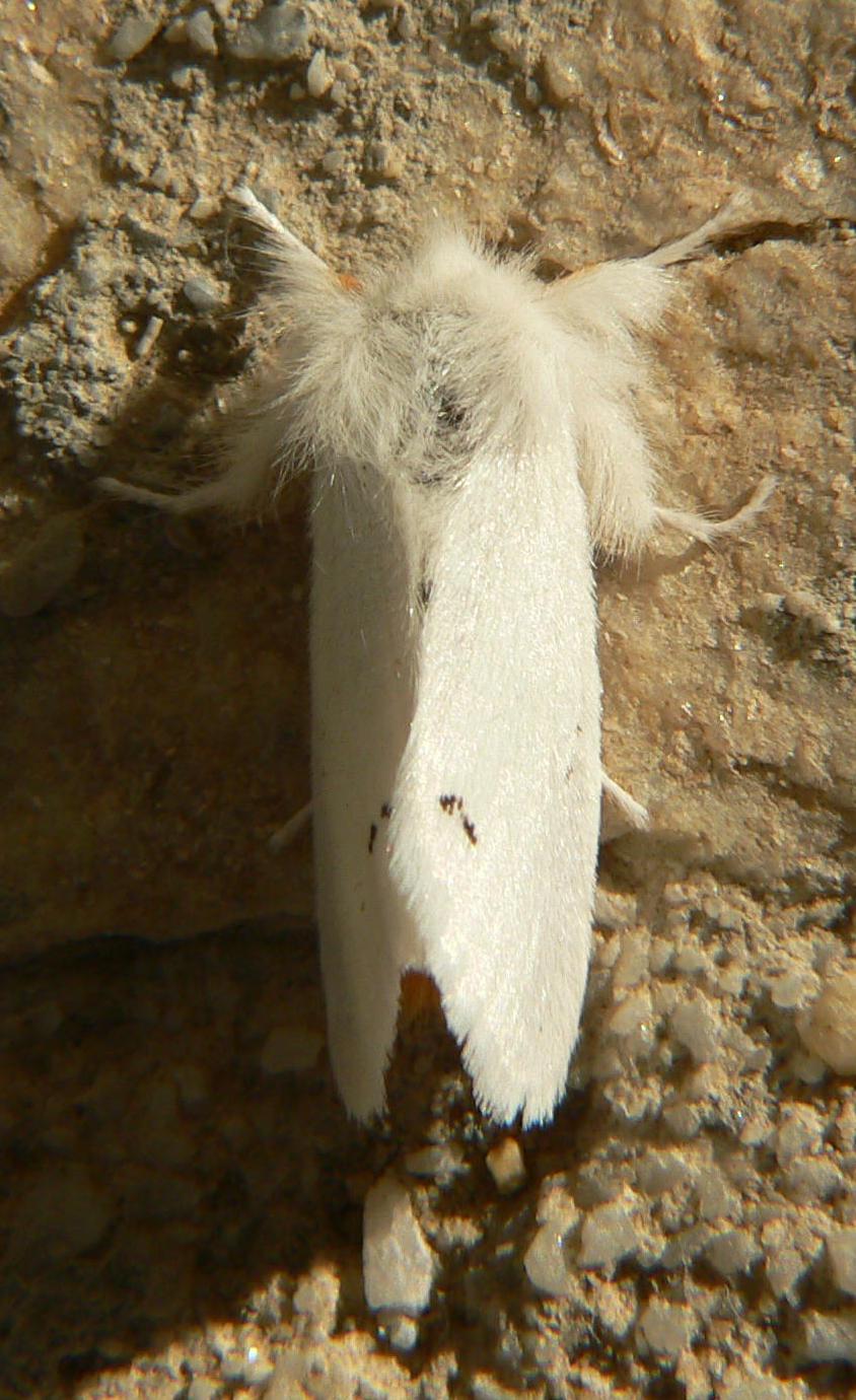 Lymantriidae: Euproctis chrysorrhoea