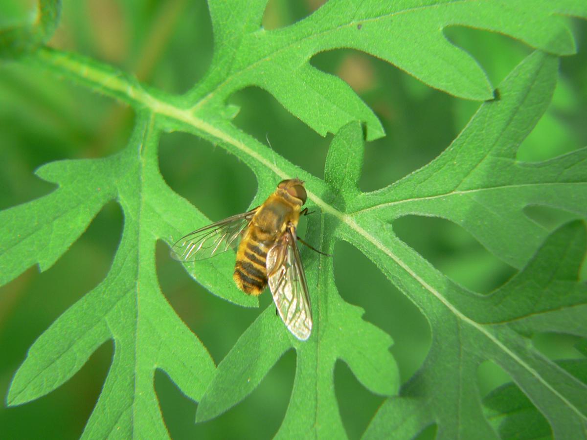 Diptera - Syrphidae ?Villa  cfr.hottentotta