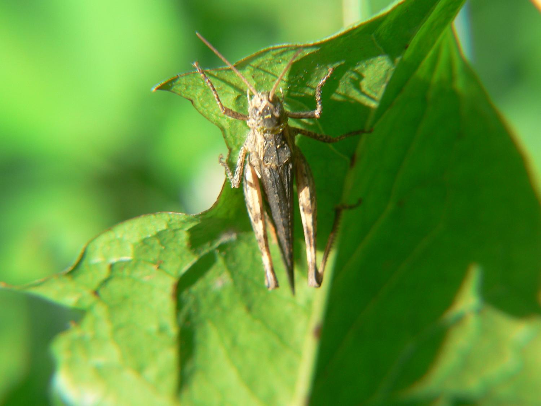 Acrididae Gomphocerinae