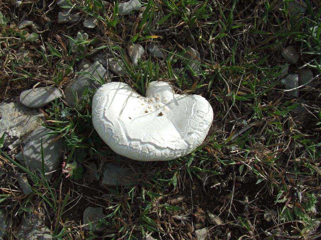 Pleurotus nebrodensis (fungo di basilisco)