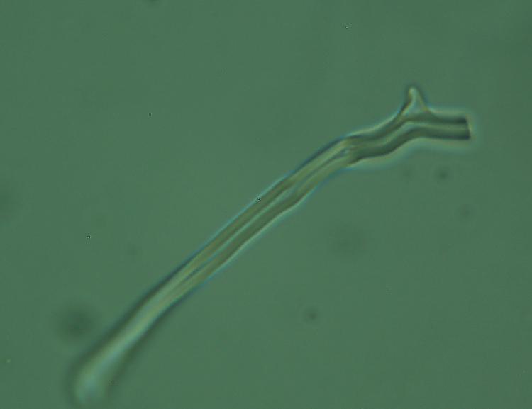 Crosta dubbia - foto 5524 (Hyphodontia gossypina?)