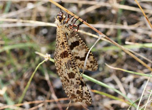 Palpares libelluloides nella Valle di Comino