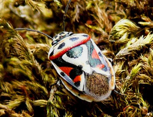 Eurydema ventralis (Heteroptera, Pentatomidae)