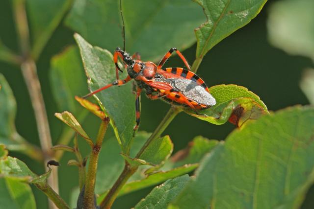 Rhynocoris iracundus/rubricus 4