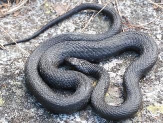 Piccolo test di che serpente si tratta forum natura for Biscia nera
