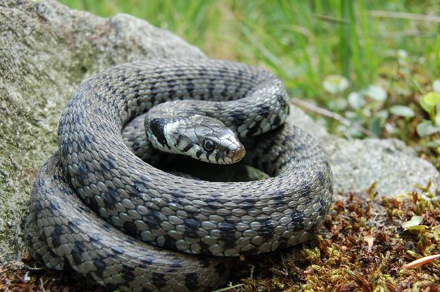 Alcuni serpenti del canton ticino forum natura - Serpente collegare i punti ...