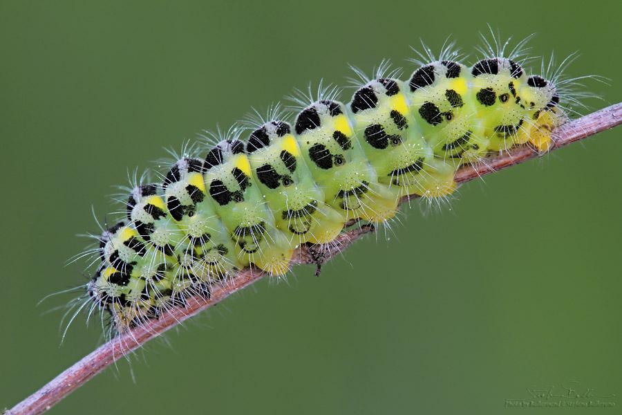 identificazione bruco - Zygaena (Zygaena) lonicerae