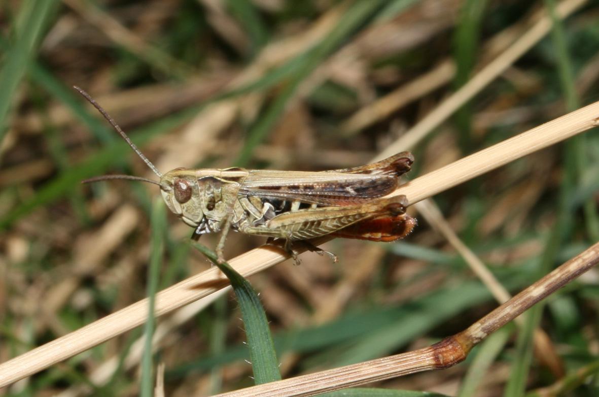 cavalletta appenninica (Centro): Ch. (G.)  cf. rubratibialis