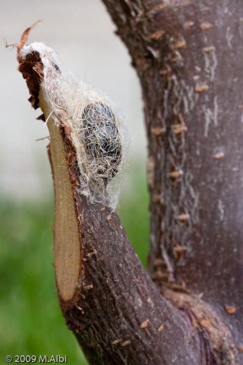 Orgyia Sp.? - Orgyia (Clethrogyna) recens