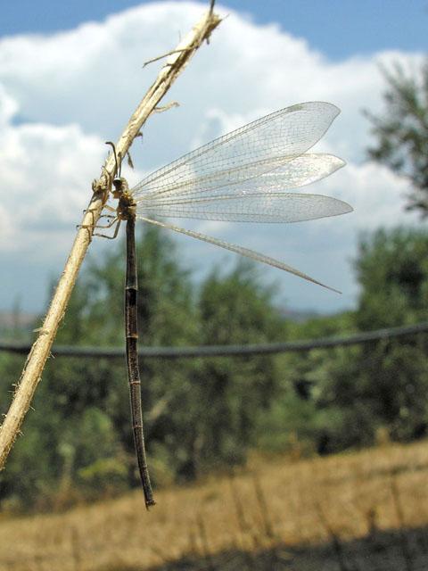 Neurotteri della Grecia (Palpares, Nemoptera e Creoleon)