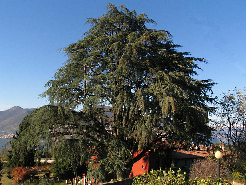 Cedrus atlantica endl carriere cedro d 39 atlante for Ocra pianta