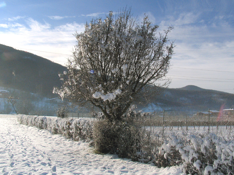 Cornus mas l corniolo maschio forum natura for Ocra pianta