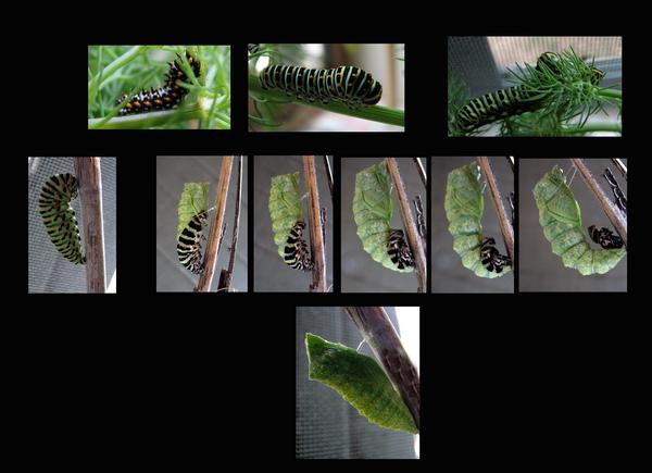 Papilio machaon - trasformazione da bruco a crisalide!