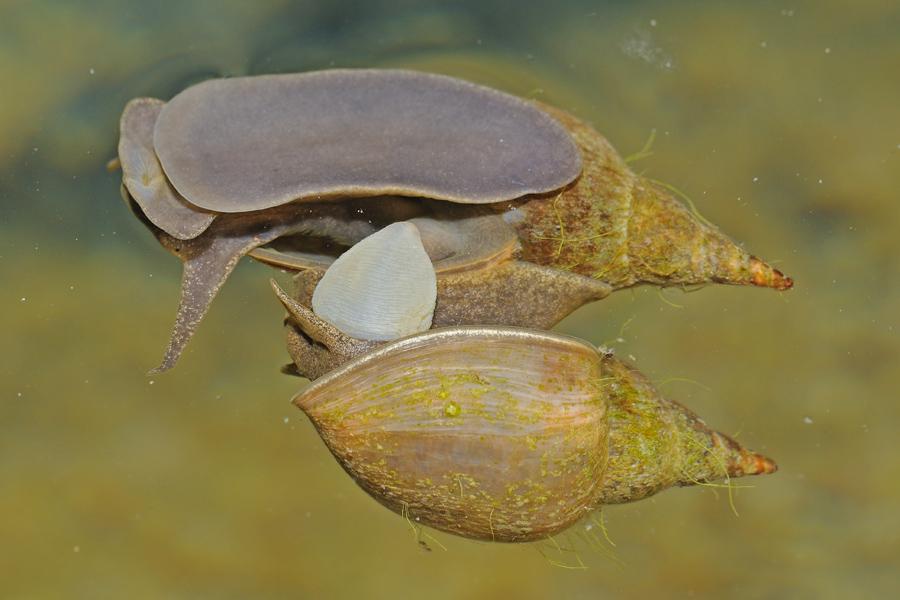 Accoppiamento Lymnaea stagnalis