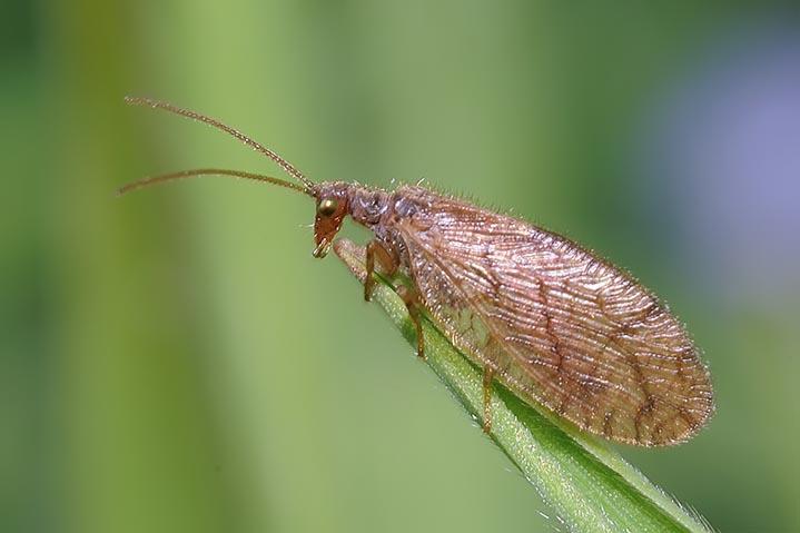 Hemerobidae (Micromus angulatus)