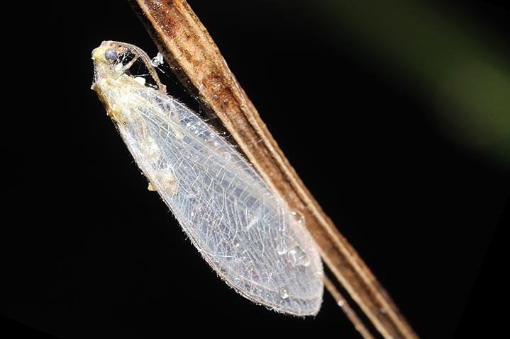 chrysoperla  catturata da un ragno