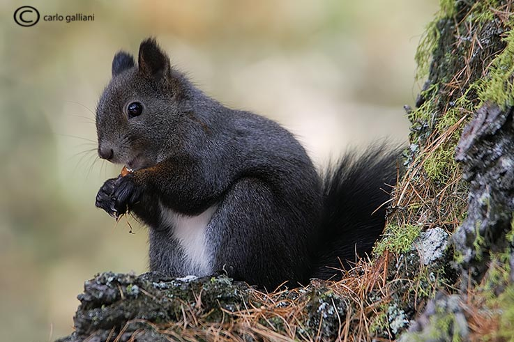 Scoiattolo e scoiattolo grigio