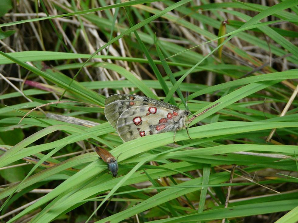 Farfalle dell''Ortles-Cevedale