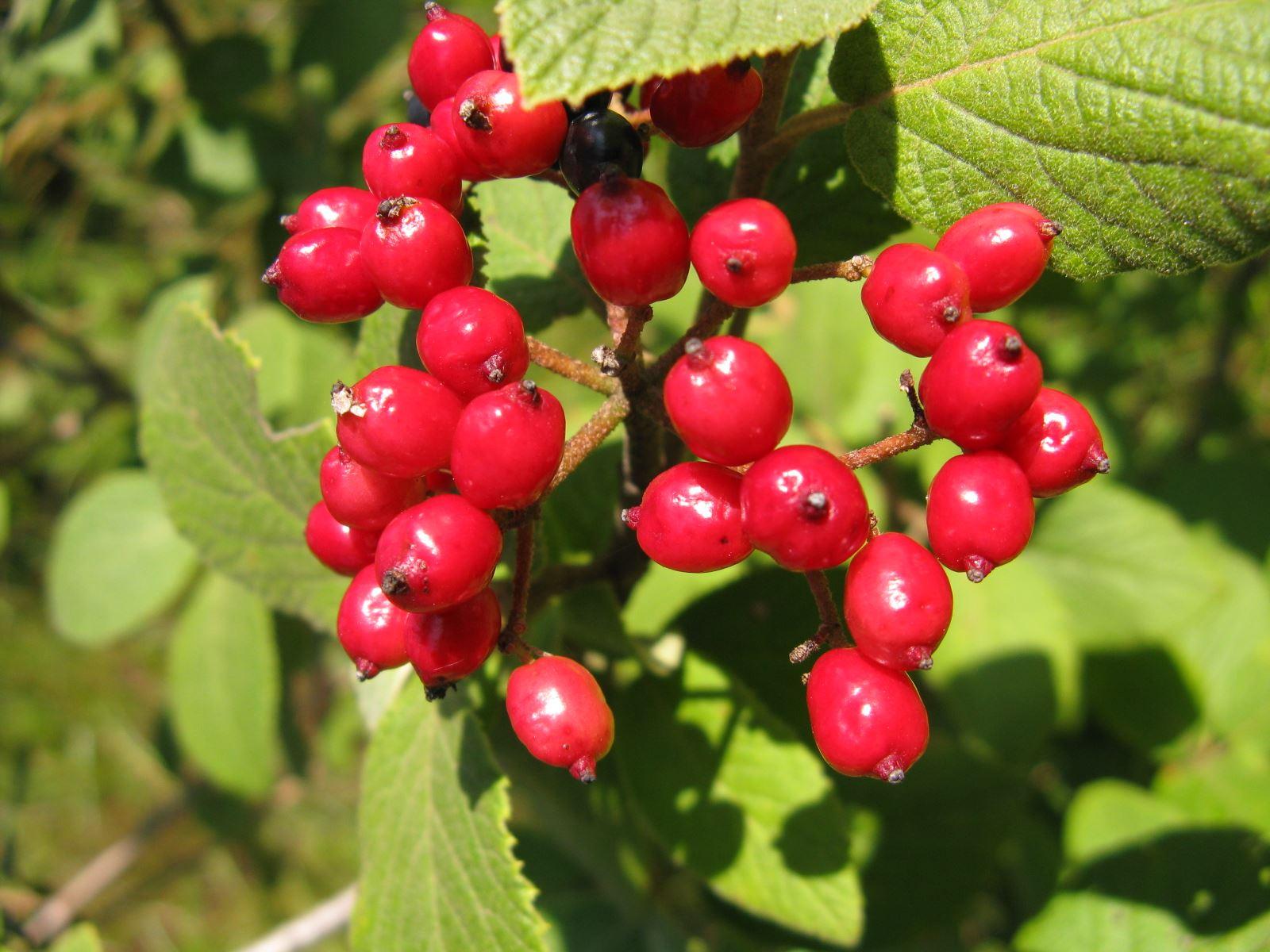 Viburnum lantana viburno lantana forum natura for Bacche rosse nomi