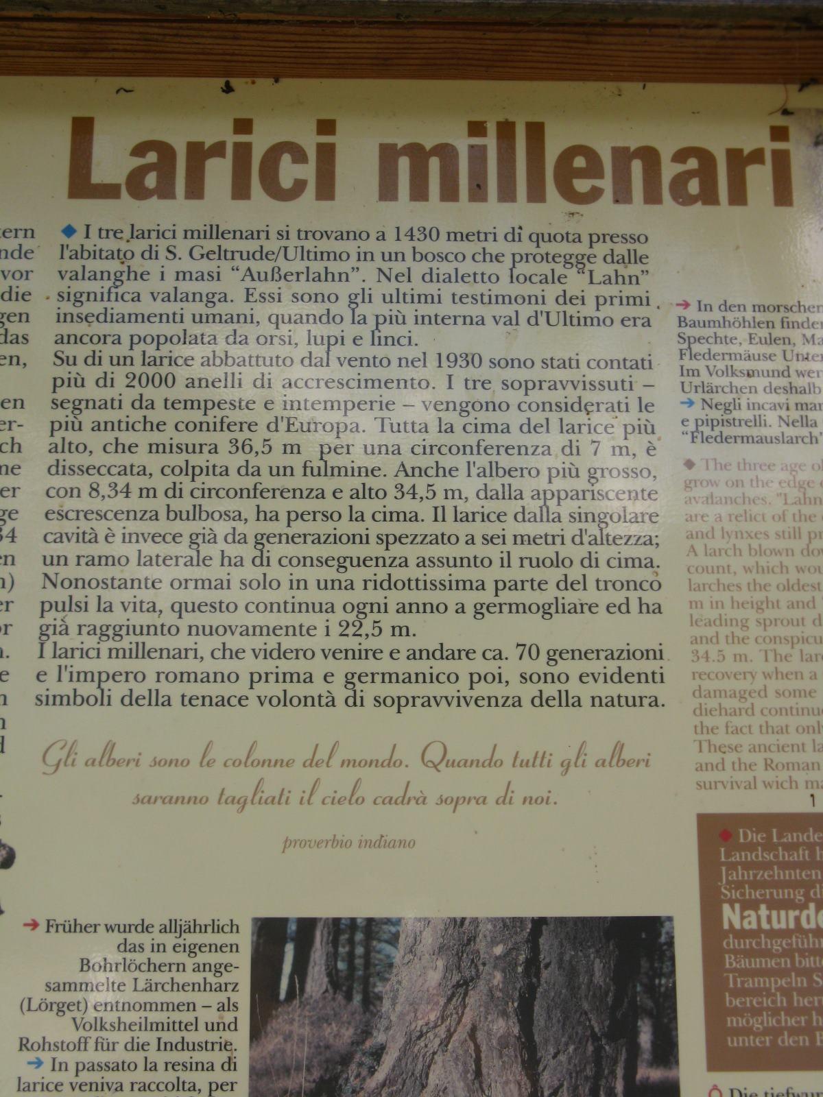 I larici millenari della Val d''Ultimo.
