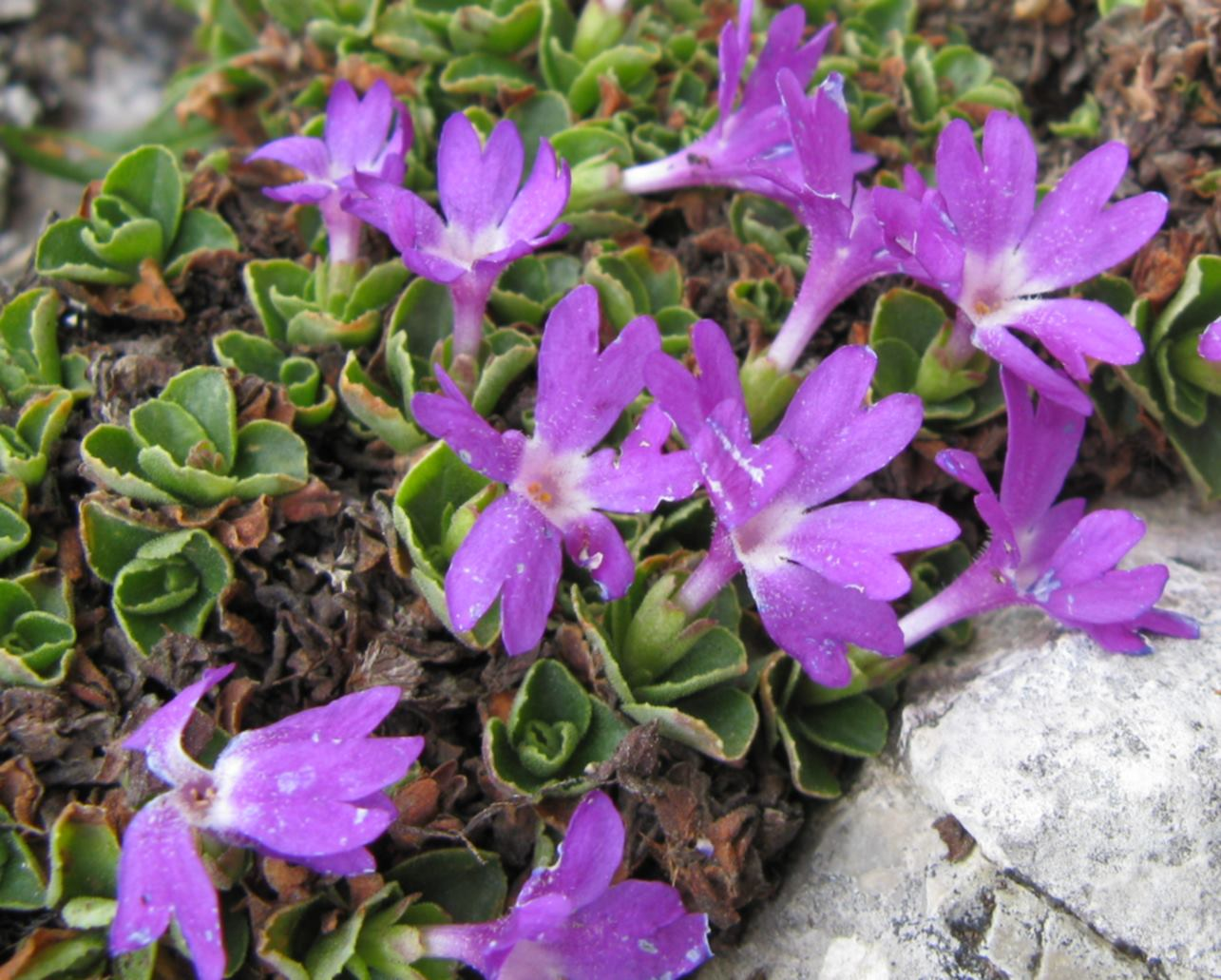 Primula tyrolensis primula tirolese forum natura for Primule immagini