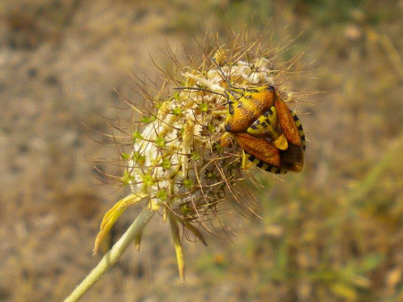 Pentatomidae problematico: Codophila varia dell''Emilia