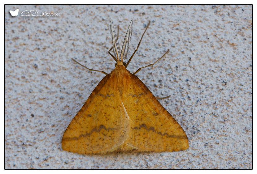 Aspitates ochrearia - Geometridae Ennominae (Adulto)