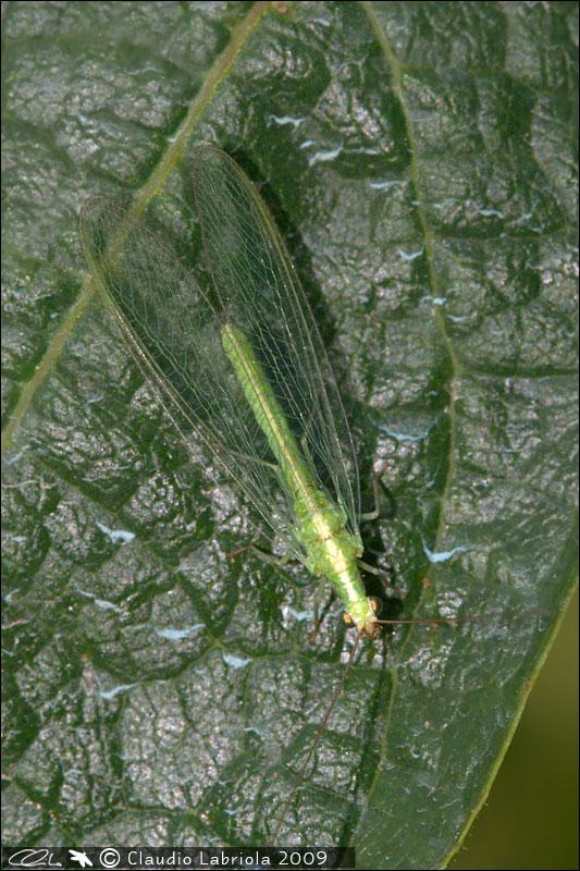 Dichochrysa clathrata e Chrysoperla lucasina aut agilis