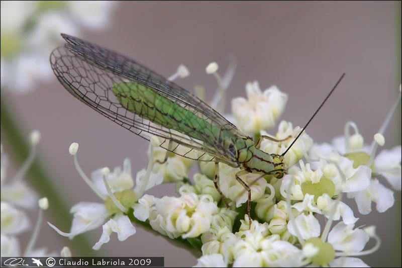 Hypochrysa elegans - Chrysopidae