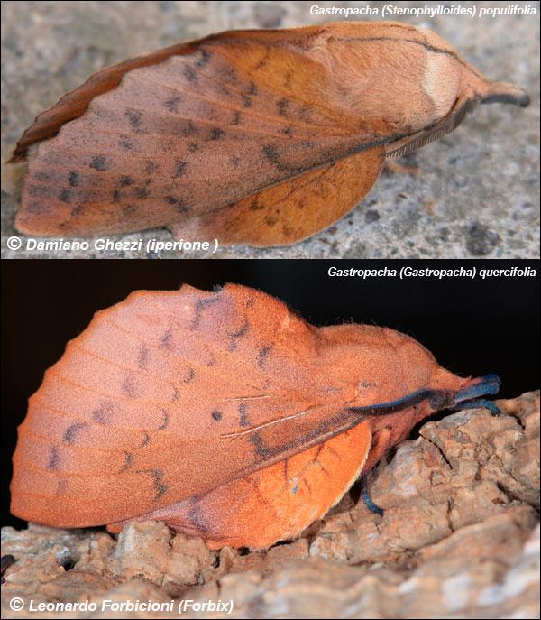 Una notturna - Gastropacha (Stenophylloides) populifolia