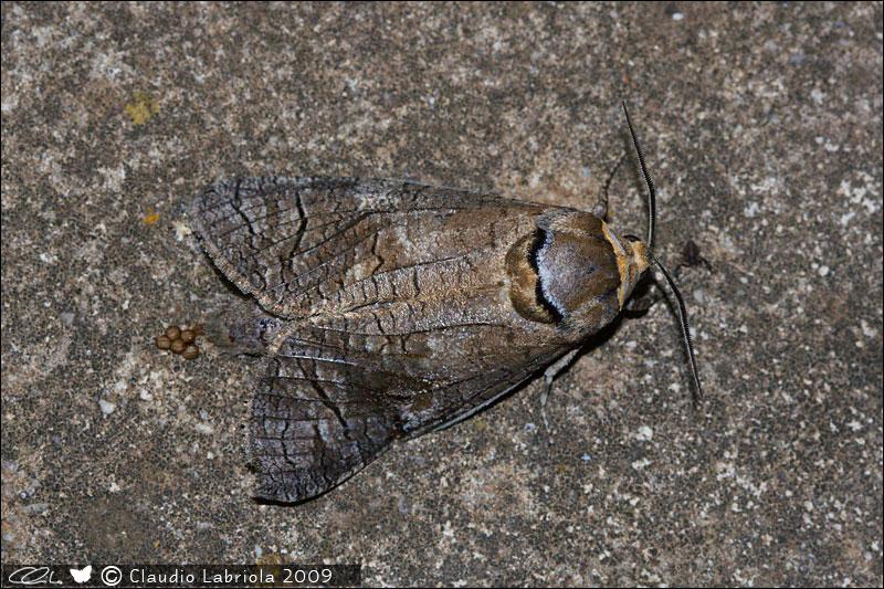 Cossus cossus - Cossidae