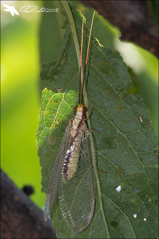 Italochrysa italica - Chrysopidae