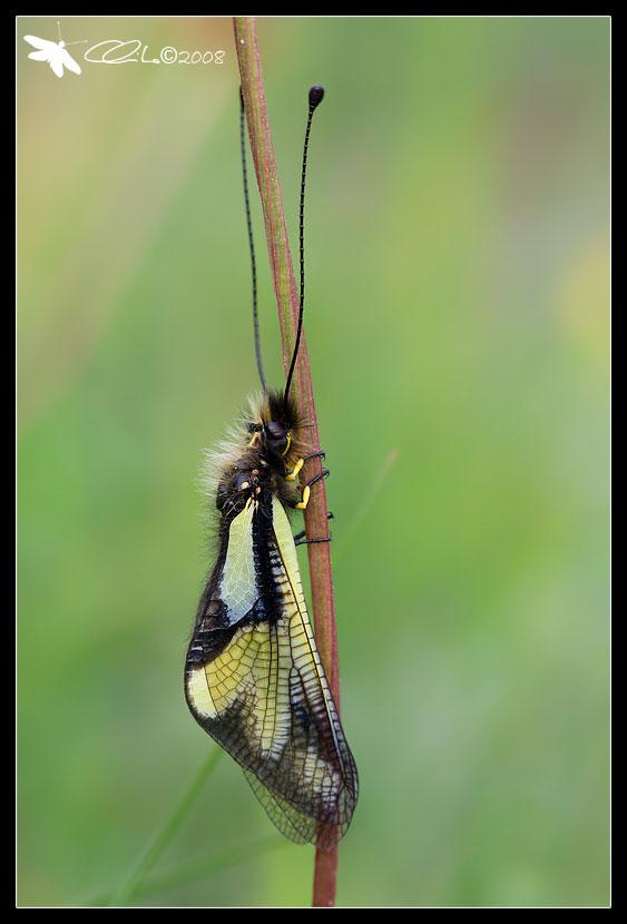 Libelloides coccajus - Ascalaphidae