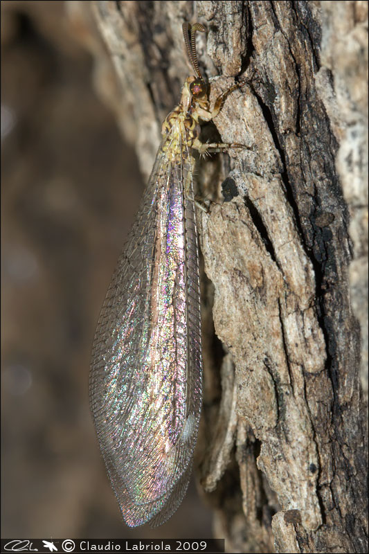 Macronemurus appendiculatus - Myrmeleontidae