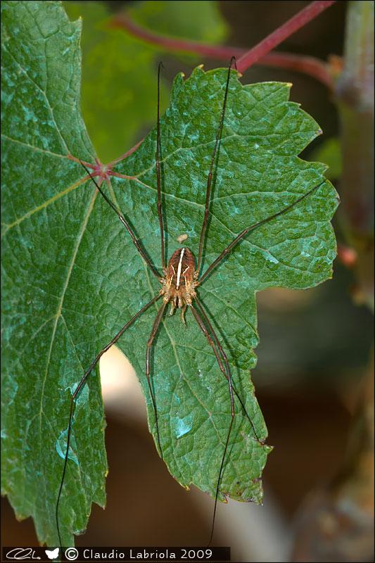 Metaphalangium sp. - Phalangiidae