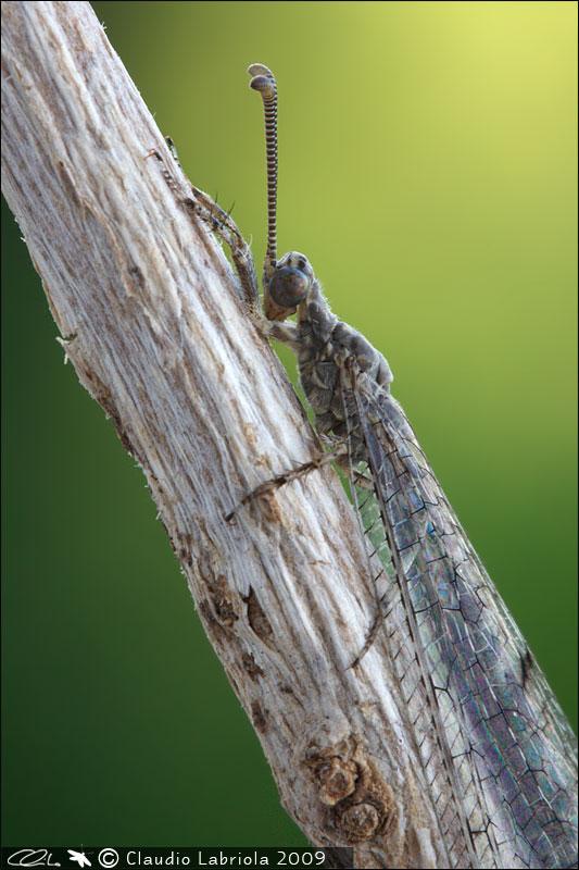 Neuroleon egenus - Myrmeleontidae, (Massa di Somma - NA)
