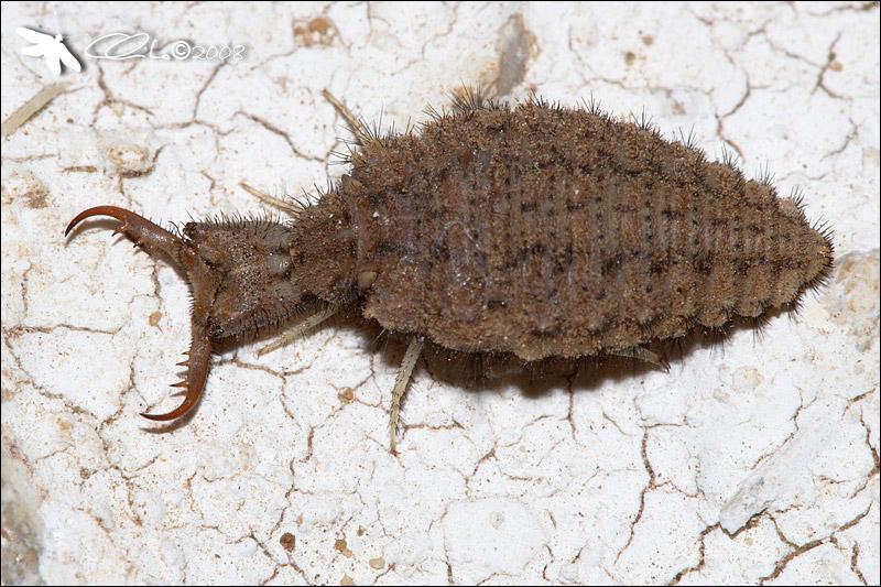 Myrmeleontidae, Larva - cf. Creoleon plumbeus