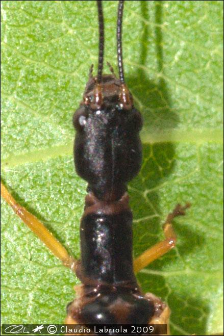 Parainocellia bicolor - Inocellidae