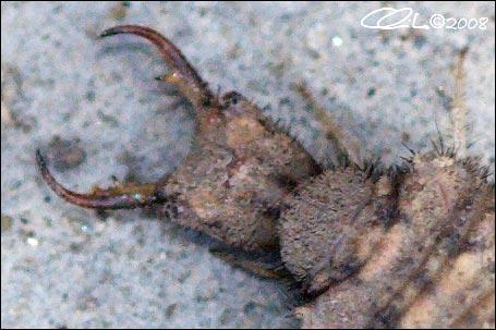 Formicaleone: Creoleon lugdunensis