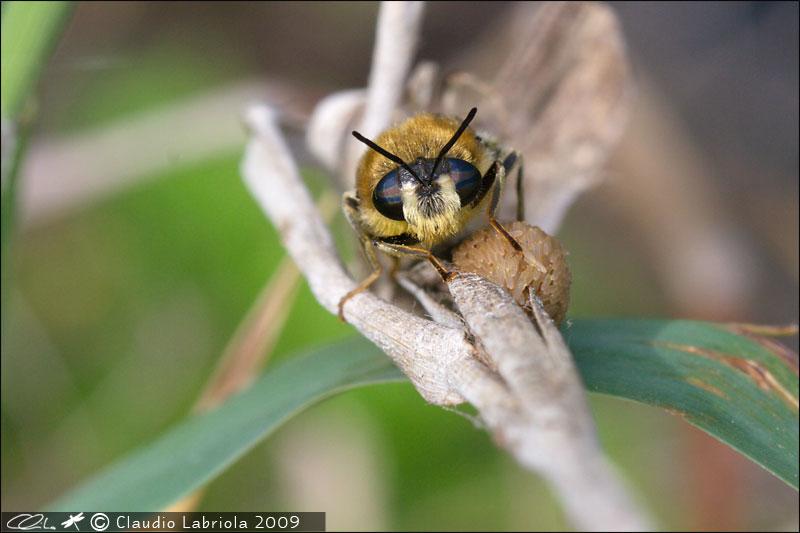 Stratiomys longicornis - Stratiomyidae