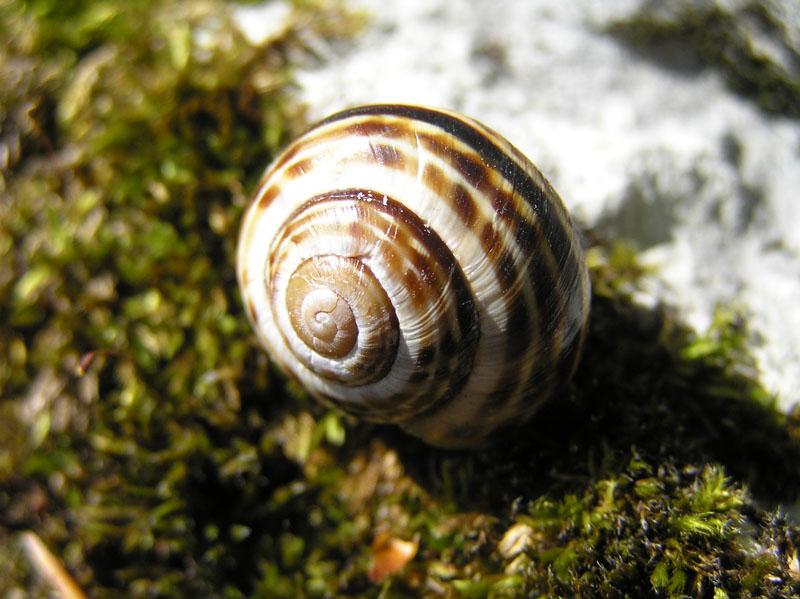 Cepaea (Cepaea) sylvatica (Draparnaud, 1801)